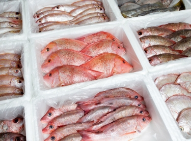Seafood book - processing fish at the Darwin Fish Markets operated by Ziko Ilic and wife Carmel