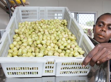 Women at Wadeye collect Kakadu plum, or mimarral as it is known in the region. The fruits is processed at Wadeye in machines that reduce it to puree. Joanne Tchemjirr feeds the fruit into the machine