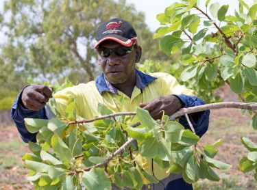 Gubinge, also known as Kakadu Plum, is grown around Broome in Western Australia. The traditional bush tucker of Aboriginal people is high in antioxidents and has the most Vitamin C of any plant in the world. Gubinge plantation at Bidyadanga, an Aboriginal community south of Broome - workers picking fruit - Darren Minyardie