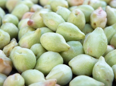 Gubinge, also known as Kakadu Plum, is grown around Broome in Western Australia. The traditional bush tucker of Aboriginal people is high in antioxidents and has the most Vitamin C of any plant in the world. Fruit laid out to dry to generate seed for future plantings