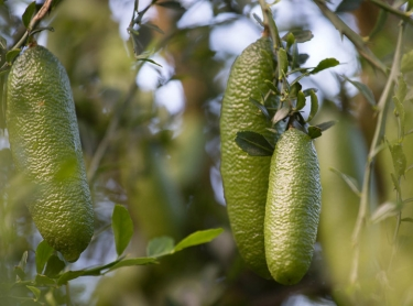 Fingerlimes - the property of Rochelle and Roger Deakers at McLeans Ridges near Lismore in northern NSW