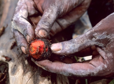 A Jawoyn woman holds the bulb of a plant she has dug and washed clean of dirt. It is used to dye pandanus red for weaving. 106807 Photographer:David Hancock/Copyright:SkyScans