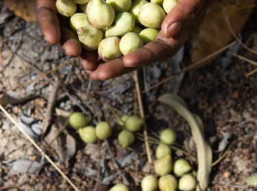 Women at Wadeye collect Kakadu plum, or mimarral as it is known in the region. The fruits is processed at Wadeye