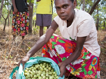 Women at Wadeye collect Kakadu plum, or mimarral as it is known in the region. The fruit is processed at Wadeye. Althea Jabinee (centre) and Elizabeth Gumaduck (left) and Joanne Tchemjirr with the fruit