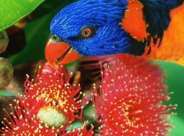 A lorrikeet feeds from a swamp bloodwood. Photographer: David Hancock. Copyright: SkyScans.
