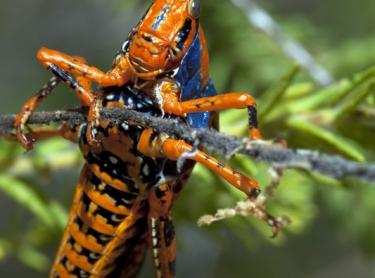 Kakadu National Park late in the dry season just after some rains. Leichhardts grasshopper feeding on Pitydodea jameseii