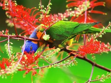A lorikeet eats the nectar from a grevillea. Photographer: David Hancock. Copyright: SkyScans.