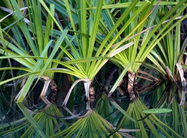 Kakadu National Park - Yellow Water billabong - wetlands plant flora pandanus aquaticus water lillies bush tucker Photographer: David Hancock. Copyright: SkyScans.