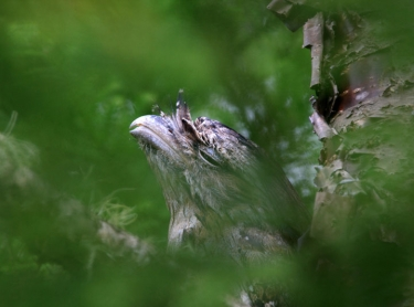 A beautifully camouflaged Tawny Frogmouth owl sits in a tree in northern NSW. native bird raptor wildlife Photographer: David Hancock. Copyright: SkyScans.