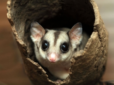 Feathers Sanctuary, in Darwin. tourism birds resort accommodation travel fauna native wildlife. Sugar Glider Photographer: David Hancock. Copyright: SkyScans.