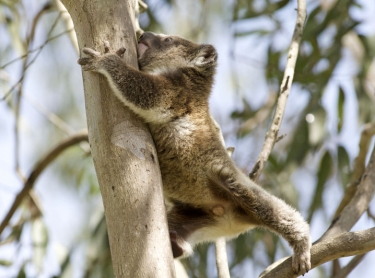 koala rests in a eucalypt in northern NSW, australia. The native animal sleeps or rests for up to 20 hours a day. marsupial mammal wildlife bear baby koala