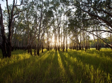Arafura Swamp area in Arnhem Land, northern Australia. Morning light breaks through the paperbarks late in the dry season - waterline on trunks shows the level of wet season waters