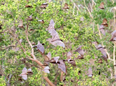 Bats take flight from a spring at Nakarriken (shots of creek flats and spring water and paperbarks). Warddeken IPA Arnhem Land plateau indigenous land management Aboriginal culture indigenous rock art images