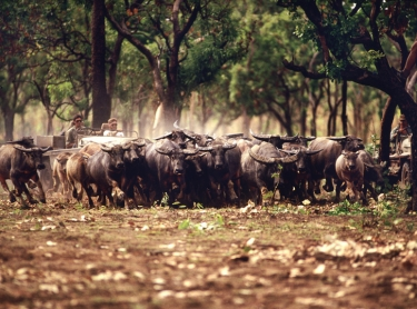 Musterers in cut-down 4WDs, known as bullcatchers, drive a mob of buffalo towards a trap hidden among trees in western Arnhem Land.