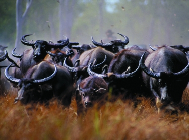 Buffalo are mustered into a trap by helicopters and bull catchers in the Top End