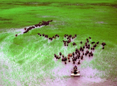 37069 A Top End buffalo farmer uses an airboat to muster animals during the wet season. The animals graze the lush green plains which are bare and dusty in the dry season. Photographer: David Hancock. Copyright: SkyScans.