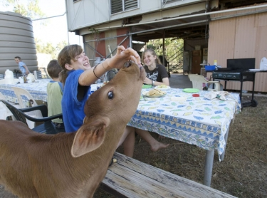 Cave Creek Station, near Mataranka in the Northern Territory is home to the Sullivan family who raise cattle for the live export market. cattle beef livestock Breakfast at the station - children dine alongside a poddy calf