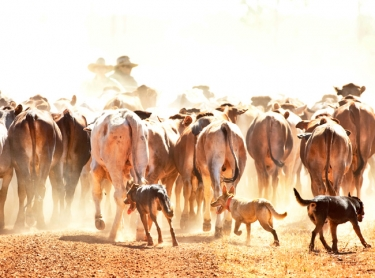 Working dogs herd cattle towards stockyards - working with stockmen on a pastoral property near Katherine NT