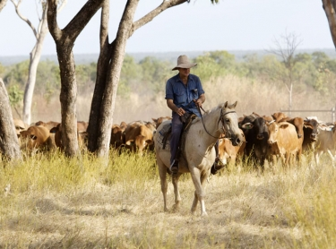Cave Creek Station, near Mataranka in the Northern Territory is home to the Sullivan family who raise cattle for the live export market. cattle beef livestock pastoral family busines. Sullivan family mustering cattle at Cave Creek