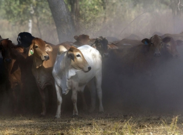 Cave Creek Station, near Mataranka in the Northern Territory is home to the Sullivan family who raise cattle for the live export market. cattle beef livestock pastoral family busines. Sullivan family mustering cattle at Cave Creek Rowan Sullivan
