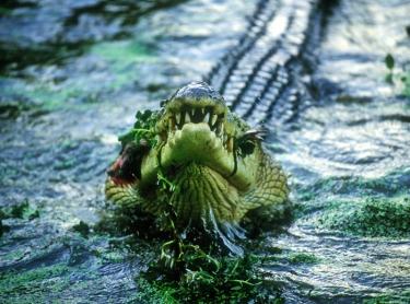 Large Saltwater crocodiles feeding at Janamba Crocodile Farm, near Darwin. Photographer:David Hancock/Copyright:SkyScans