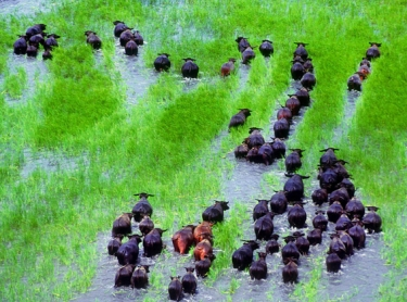 Domesticated buffalo are mustered by airboat off Top End flood plains during the wet season. Photographer:David Hancock/Copyright:SkyScans