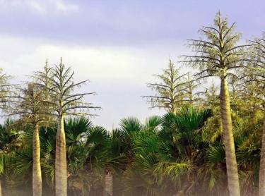Arafura Swamp area in Arnhem Land, northern Australia. Arafura palms, showing flower spikes