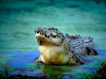 crocodileLarge copy